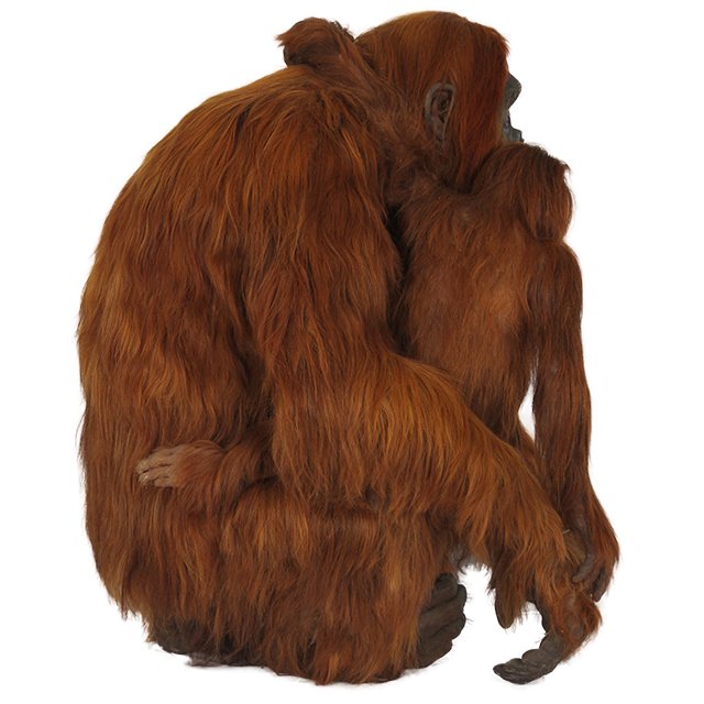 Picture Red Haired Orangutan