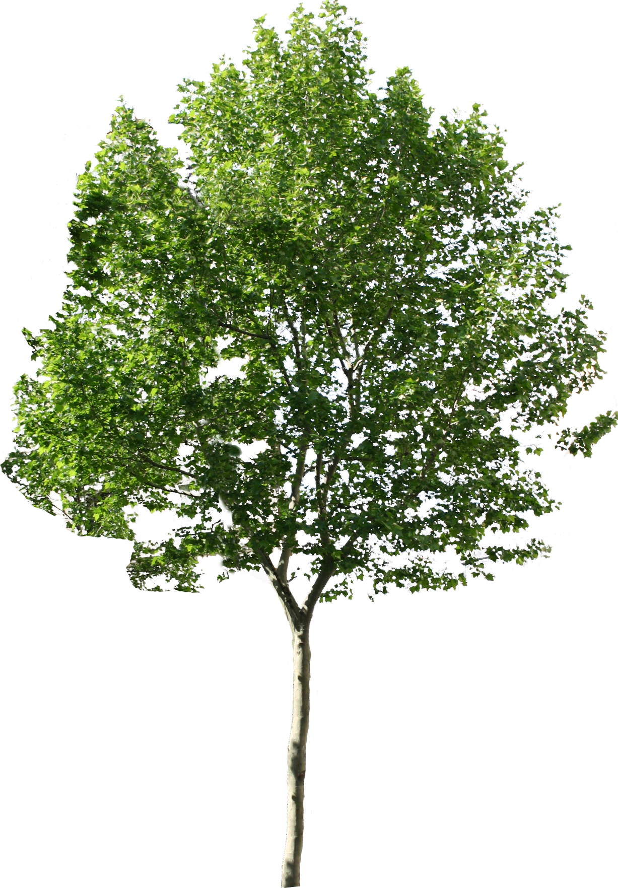 Tree Png Available In Different Size