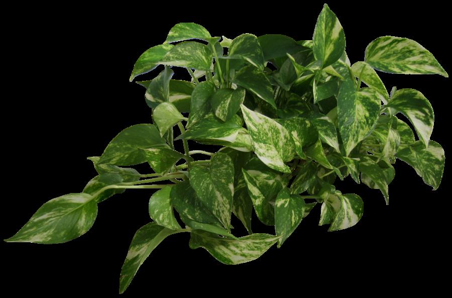 plant (epipremnum pinnatum) png