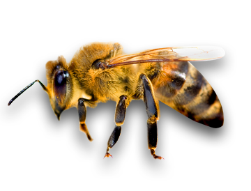 Png Background Bee Transparent image #45414