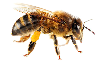 Png Bee Best Clipart image #45406