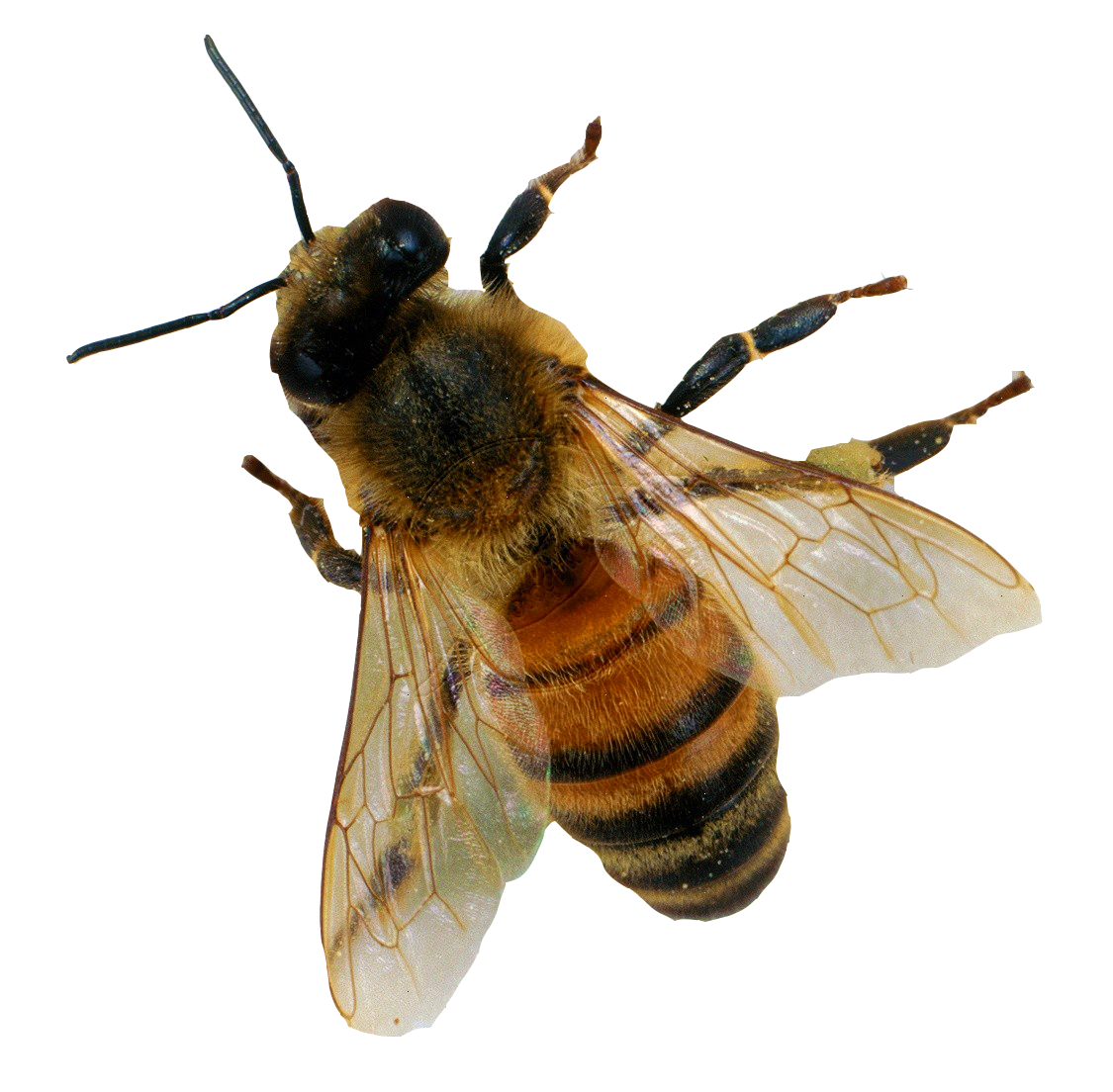 PNG Bee Picture image #45394