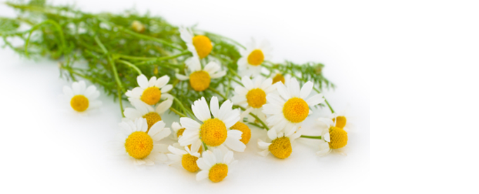 Png Format Images Of Chamomile