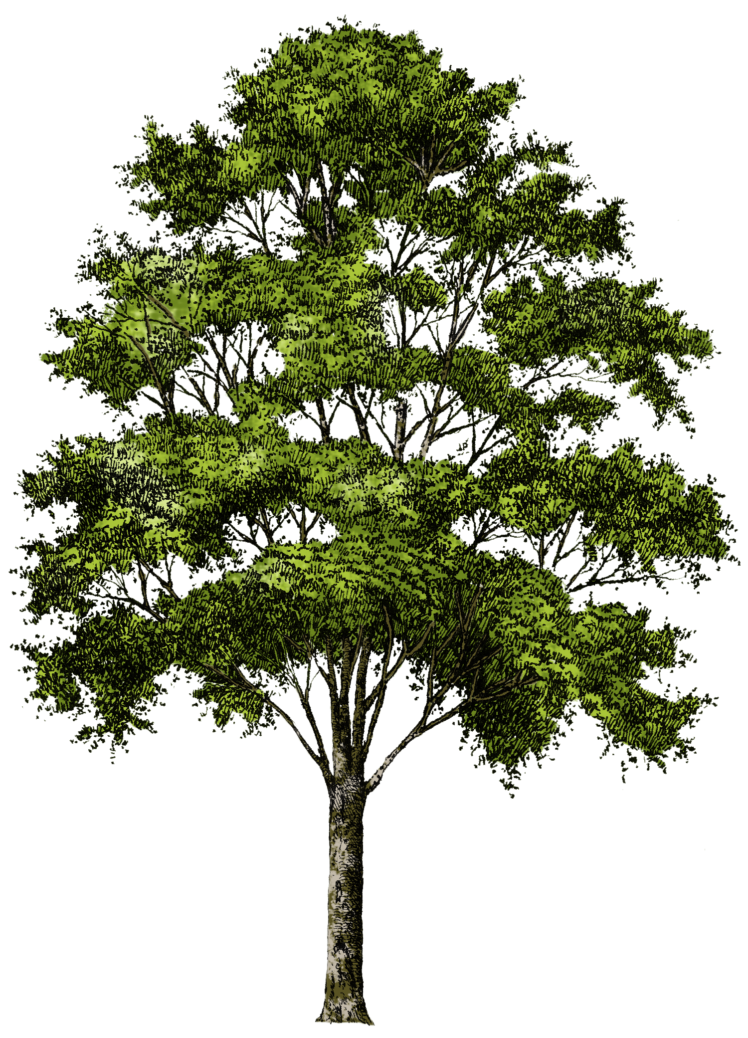 Plan Coupe Elevation Architecture : Clipart tree collection png free icons and