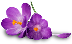 Purple Flower Png image #6208