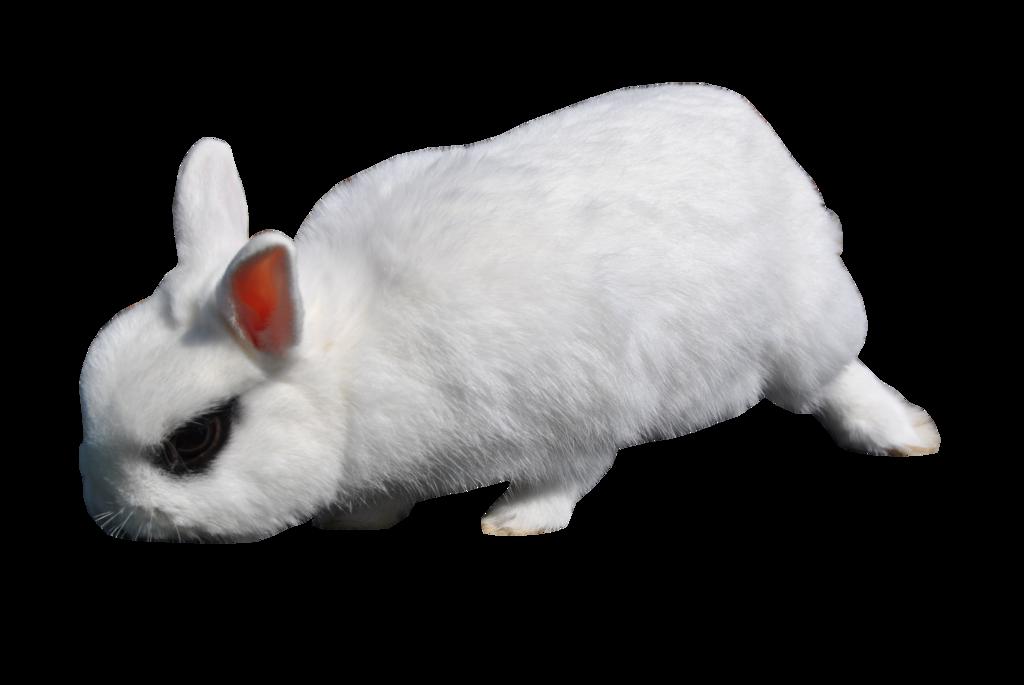 Rabbit Png image #40324