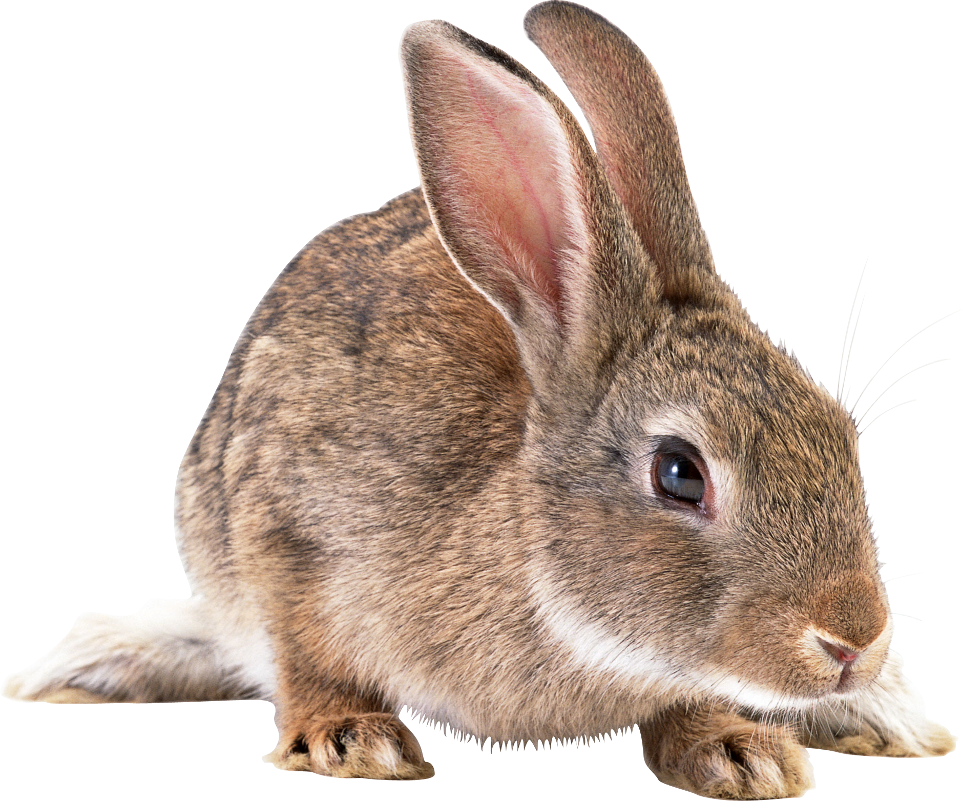 Rabbit Png image #40325