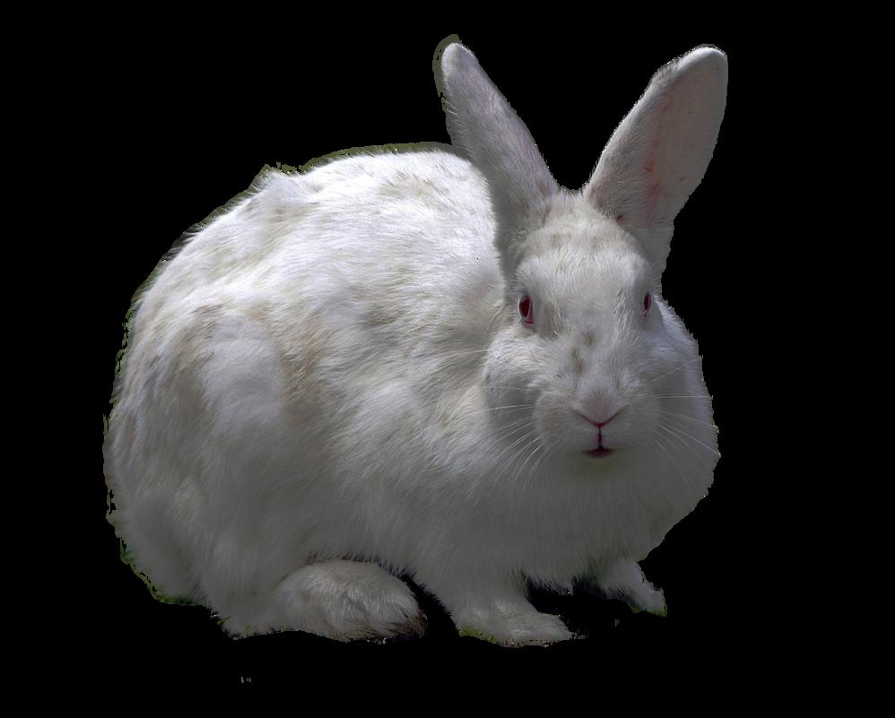 Rabbit Png image #40331