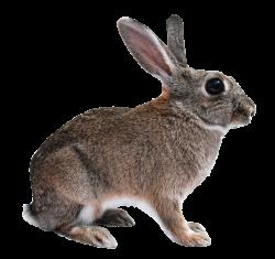 Rabbit Png image #40333