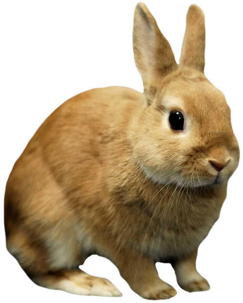 Rabbit Png image #40334