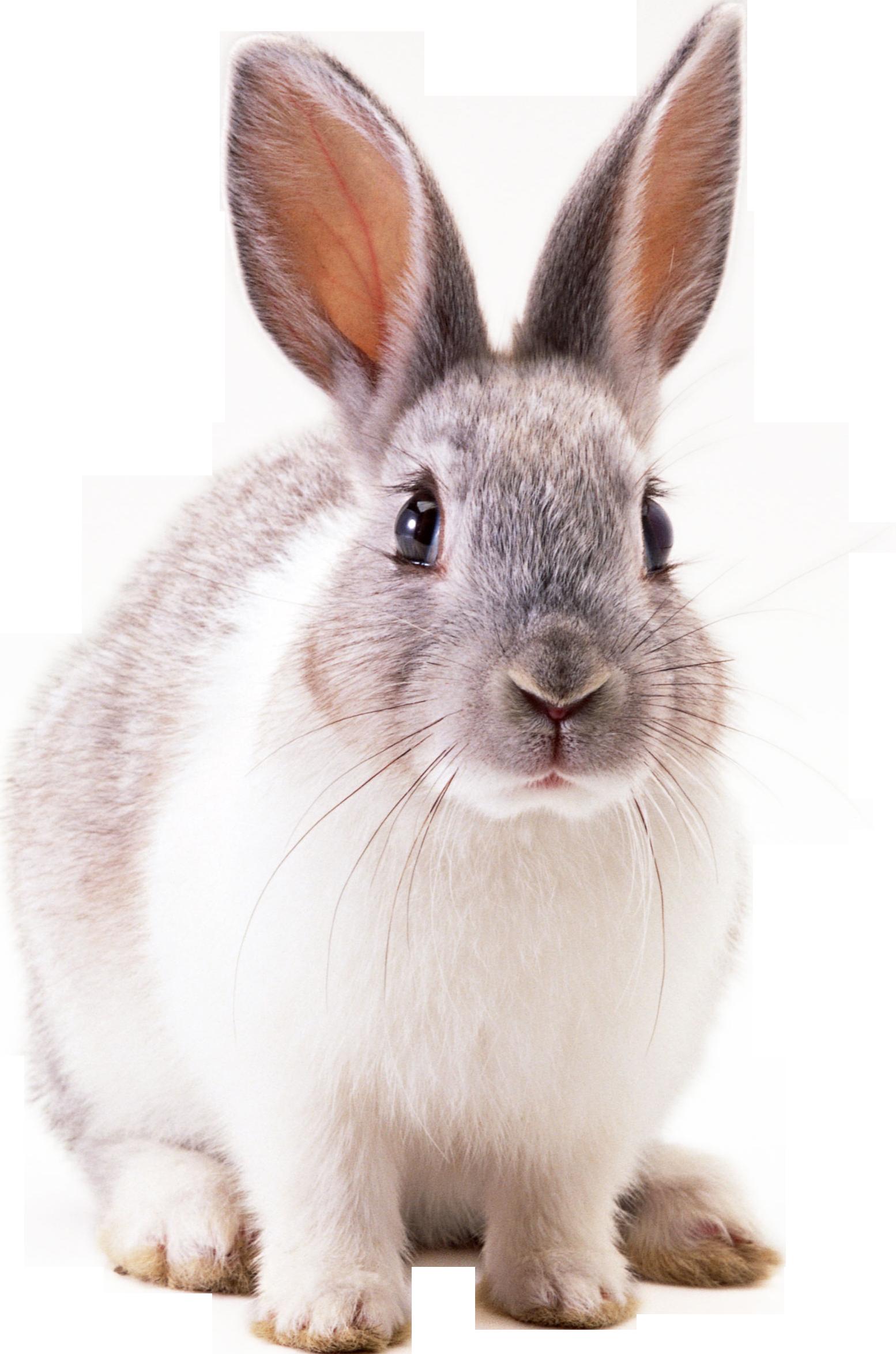 Rabbit Png image #40335