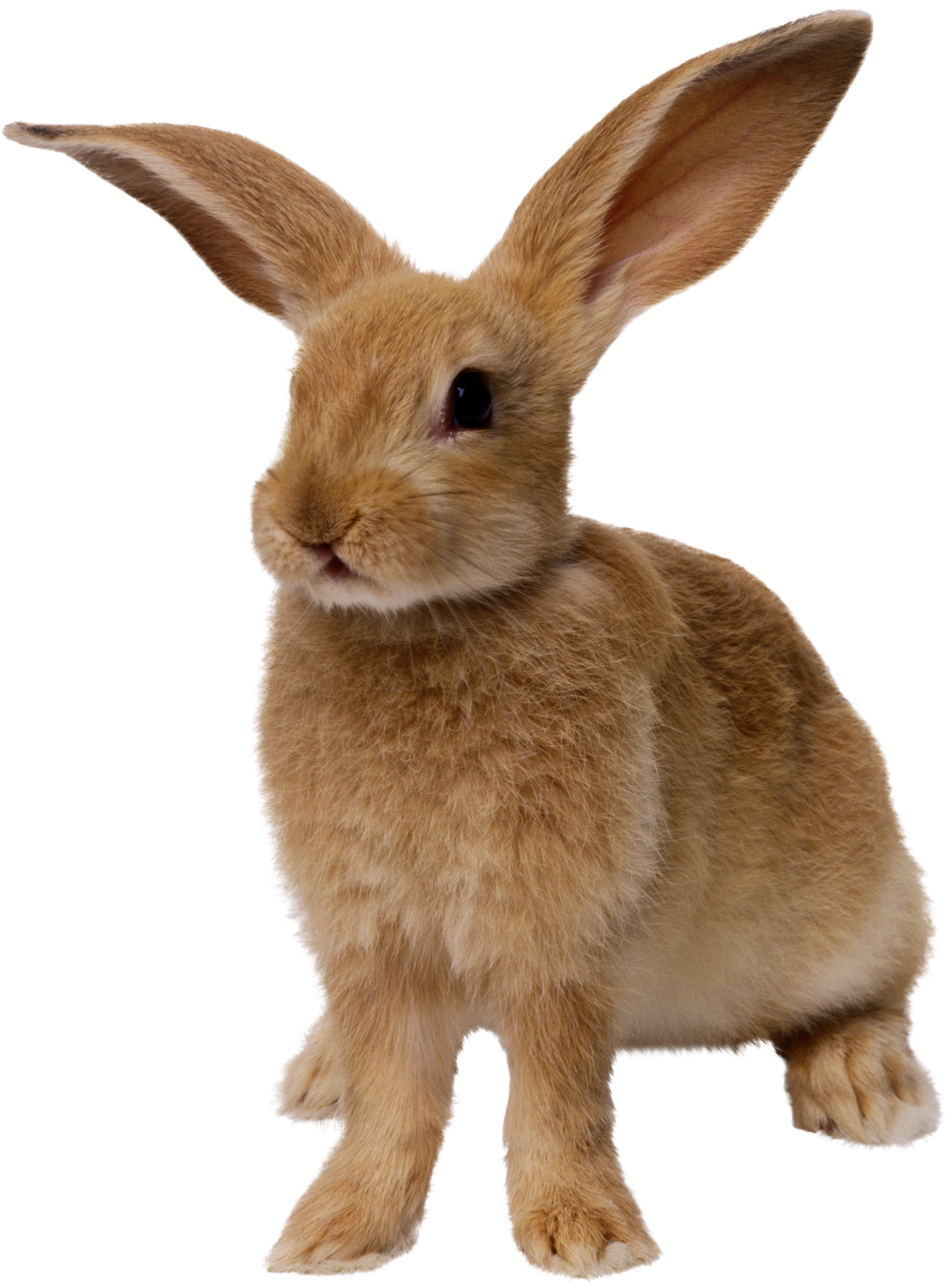 File PNG Rabbit image #40336