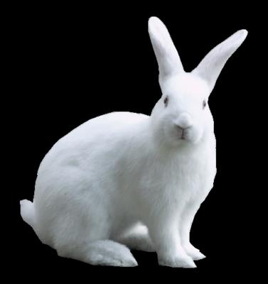 Rabbit Png image #40337