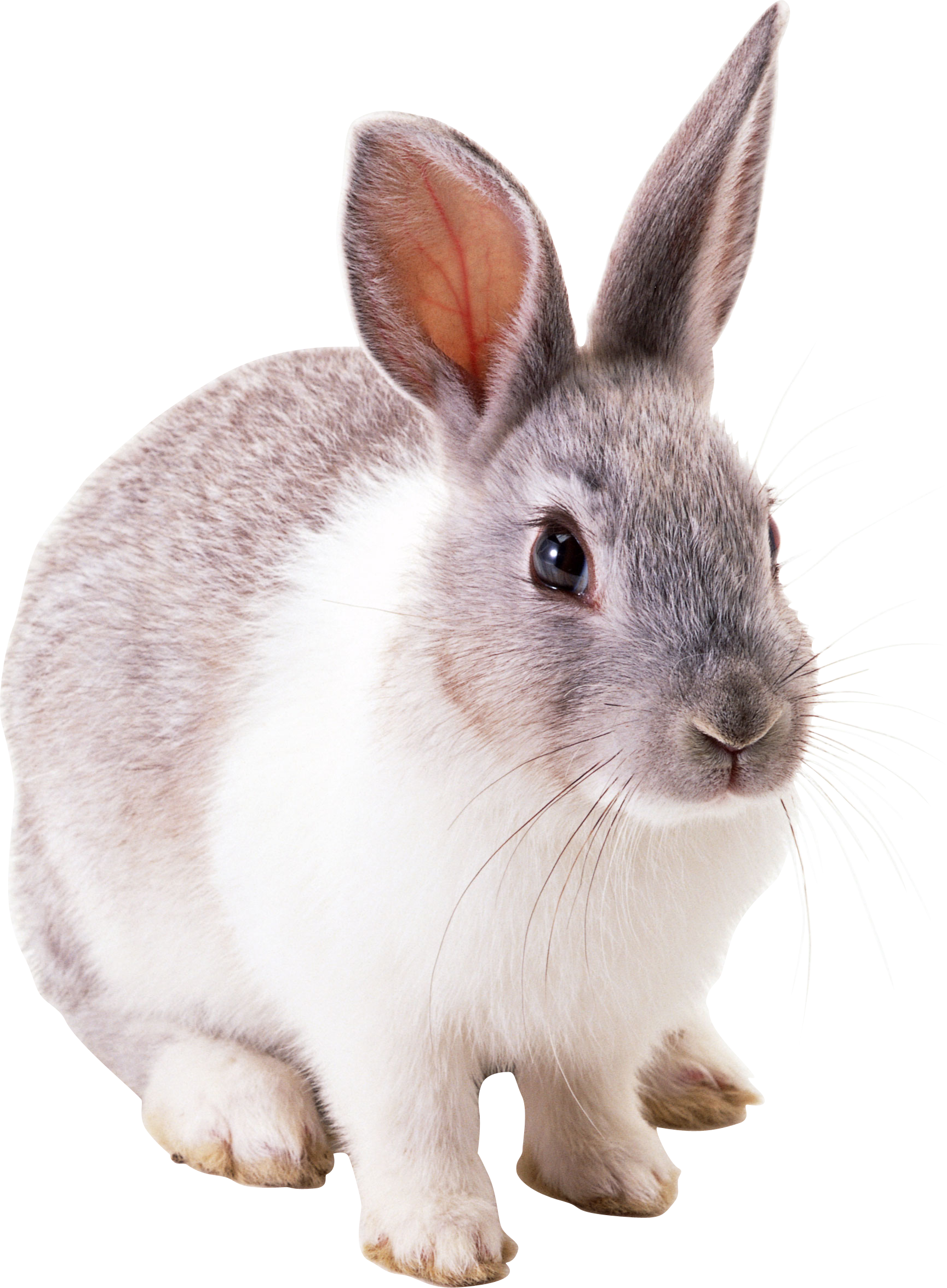 Transparent Background Rabbit image #40340