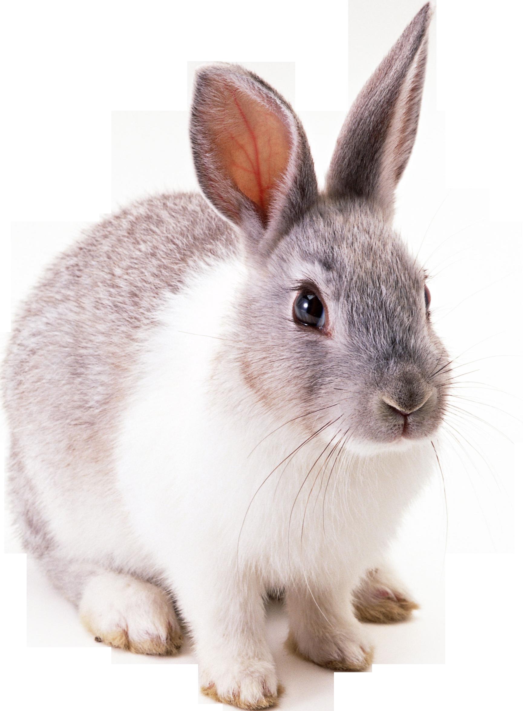 Rabbit Png image #40340