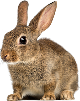 Rabbit HD PNG image #40344