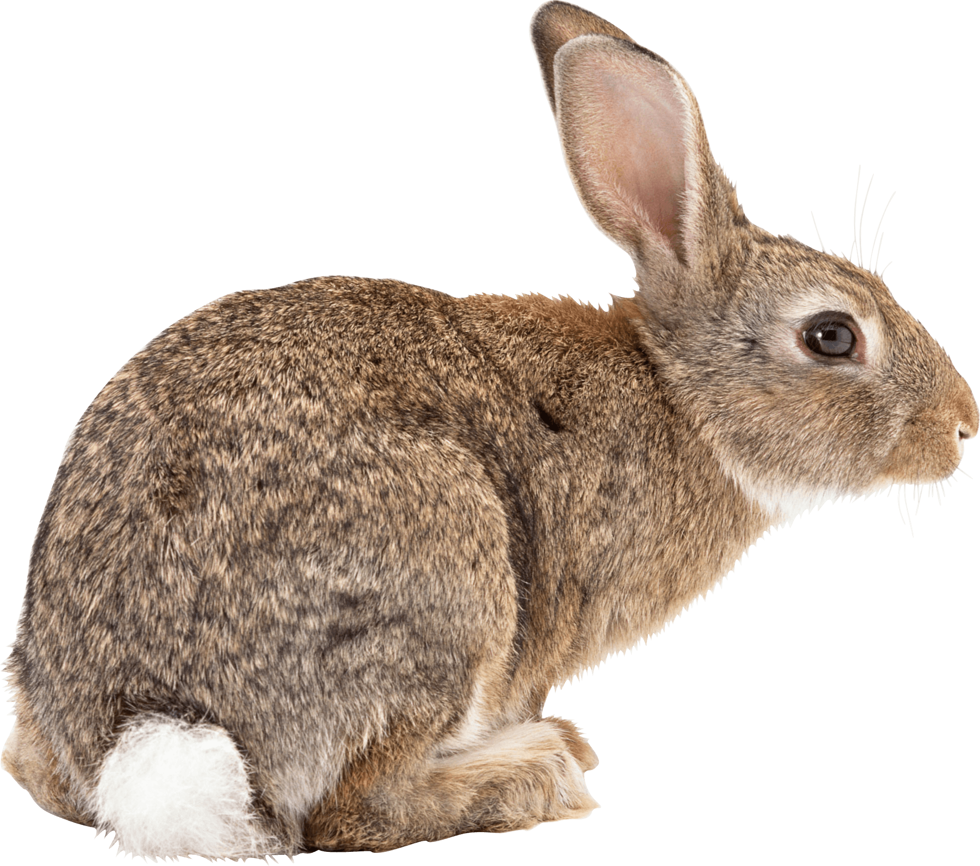 Free Download Rabbit Png Images image #40318