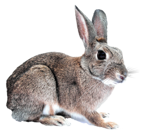 Rabbit Free Download Images image #40320