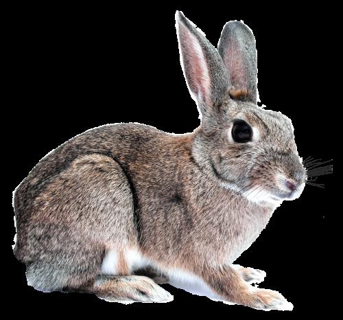 Rabbit Png image #40320