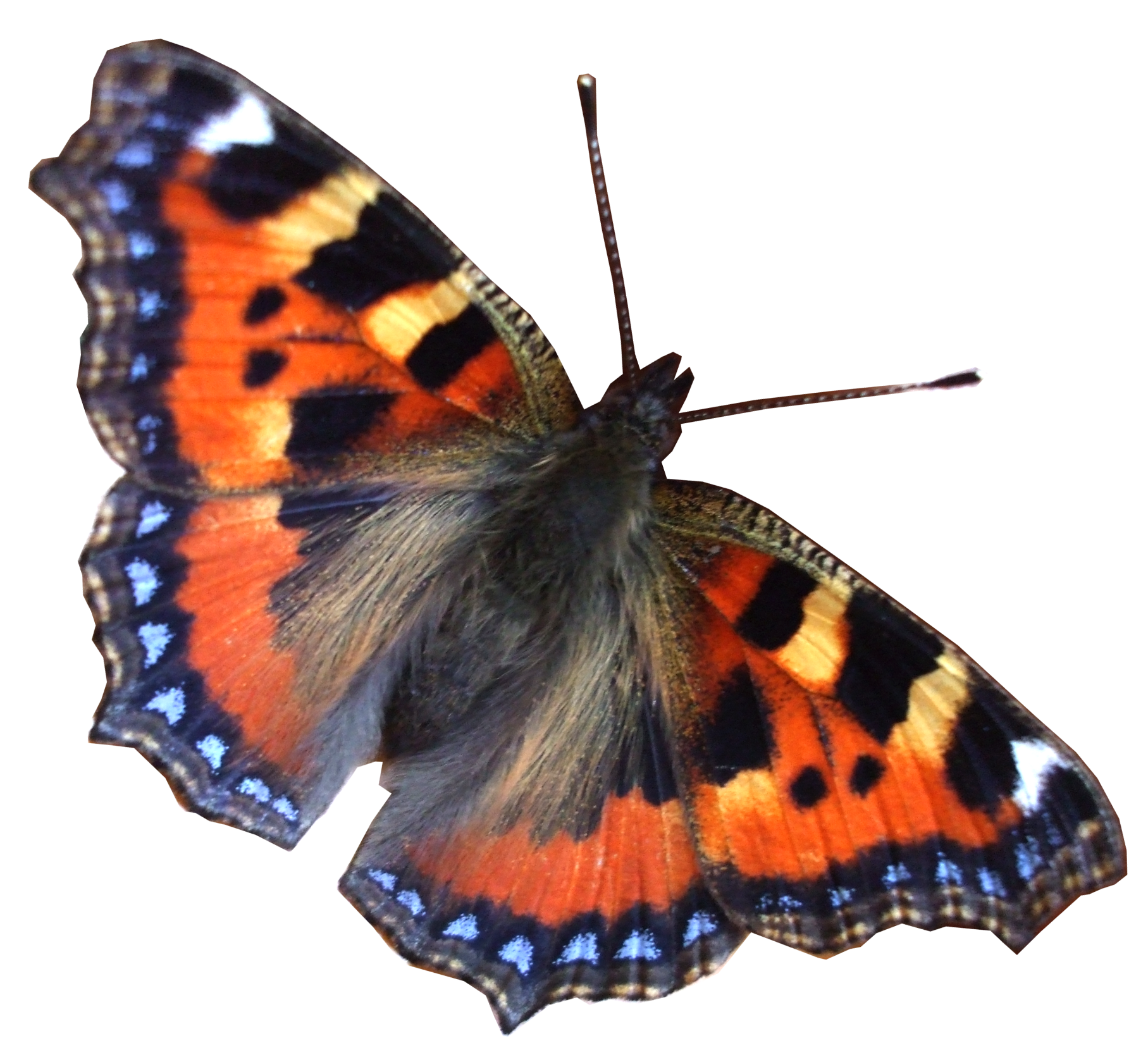 Real Butterflies Png image #26546