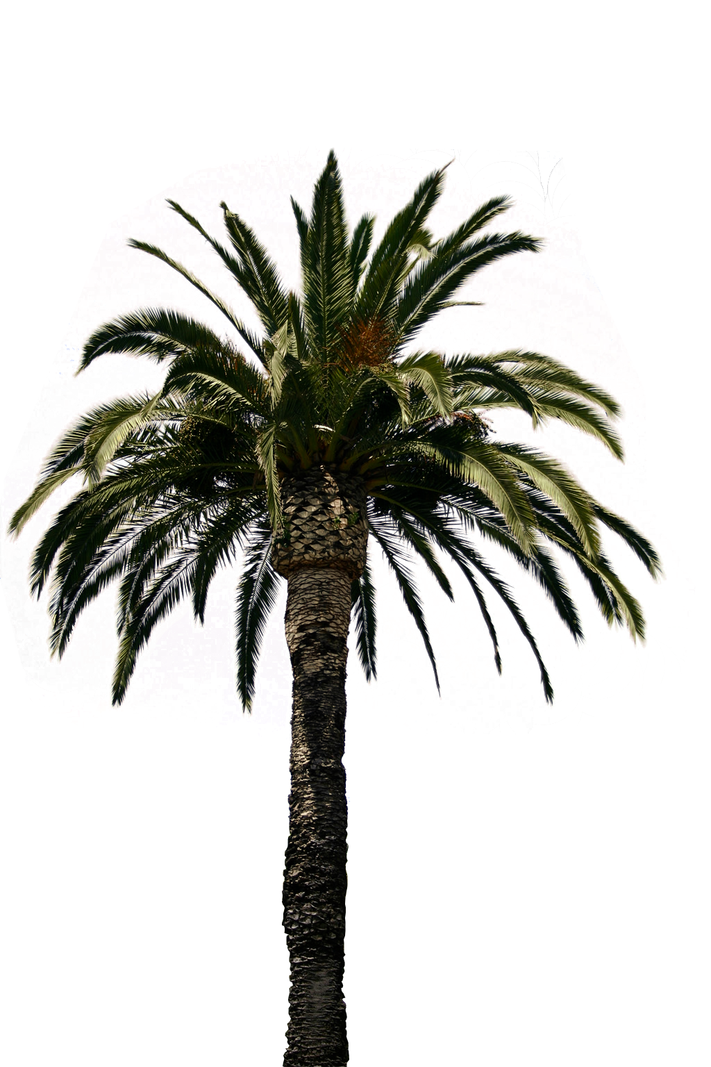 Real Palm Tree Transparent Png   image #43067