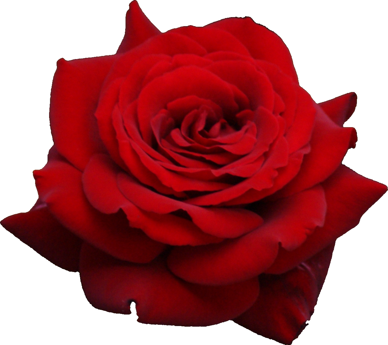Red Rose PNG image #18962