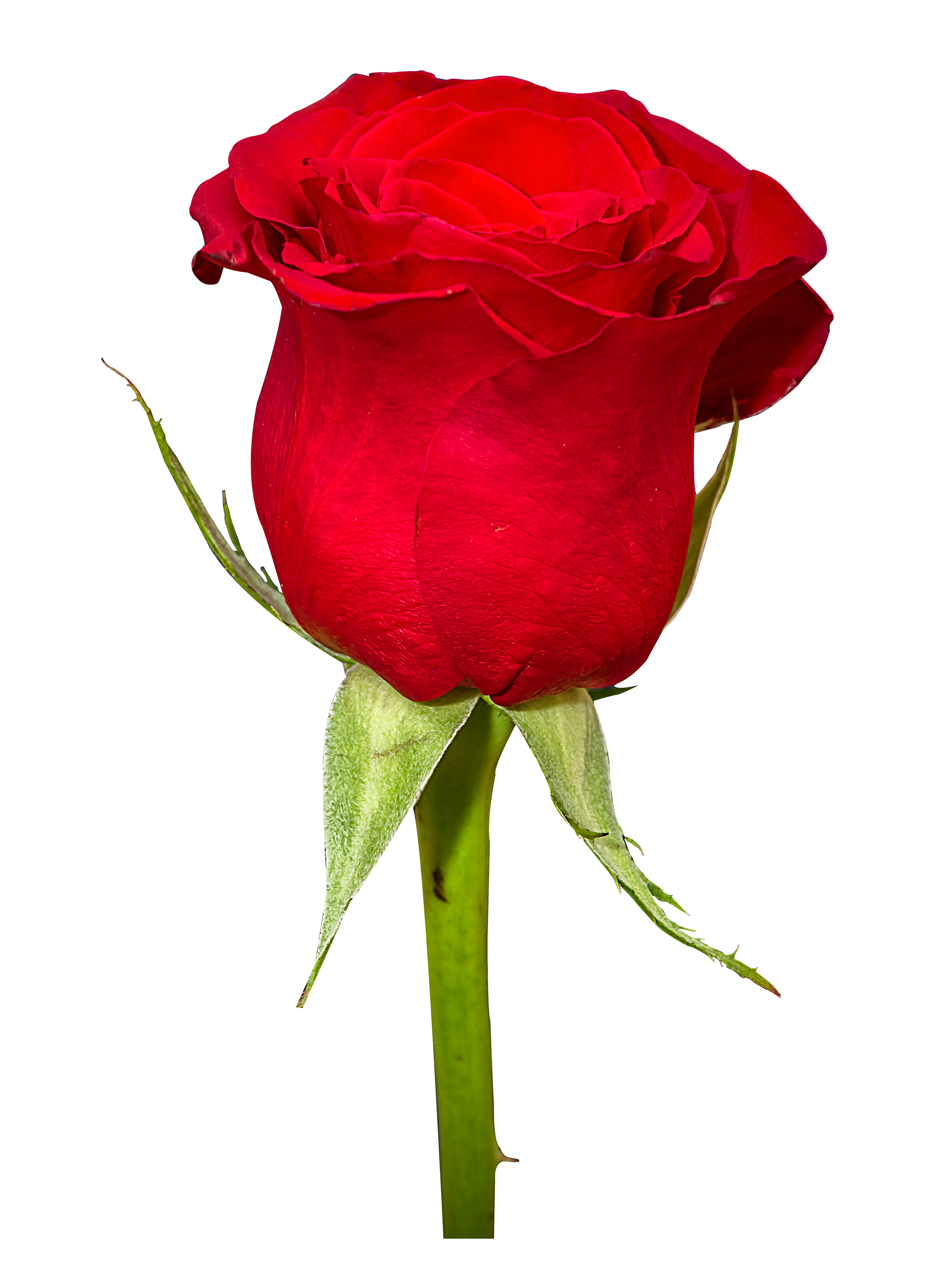 Red Roses For Women Png image #39852
