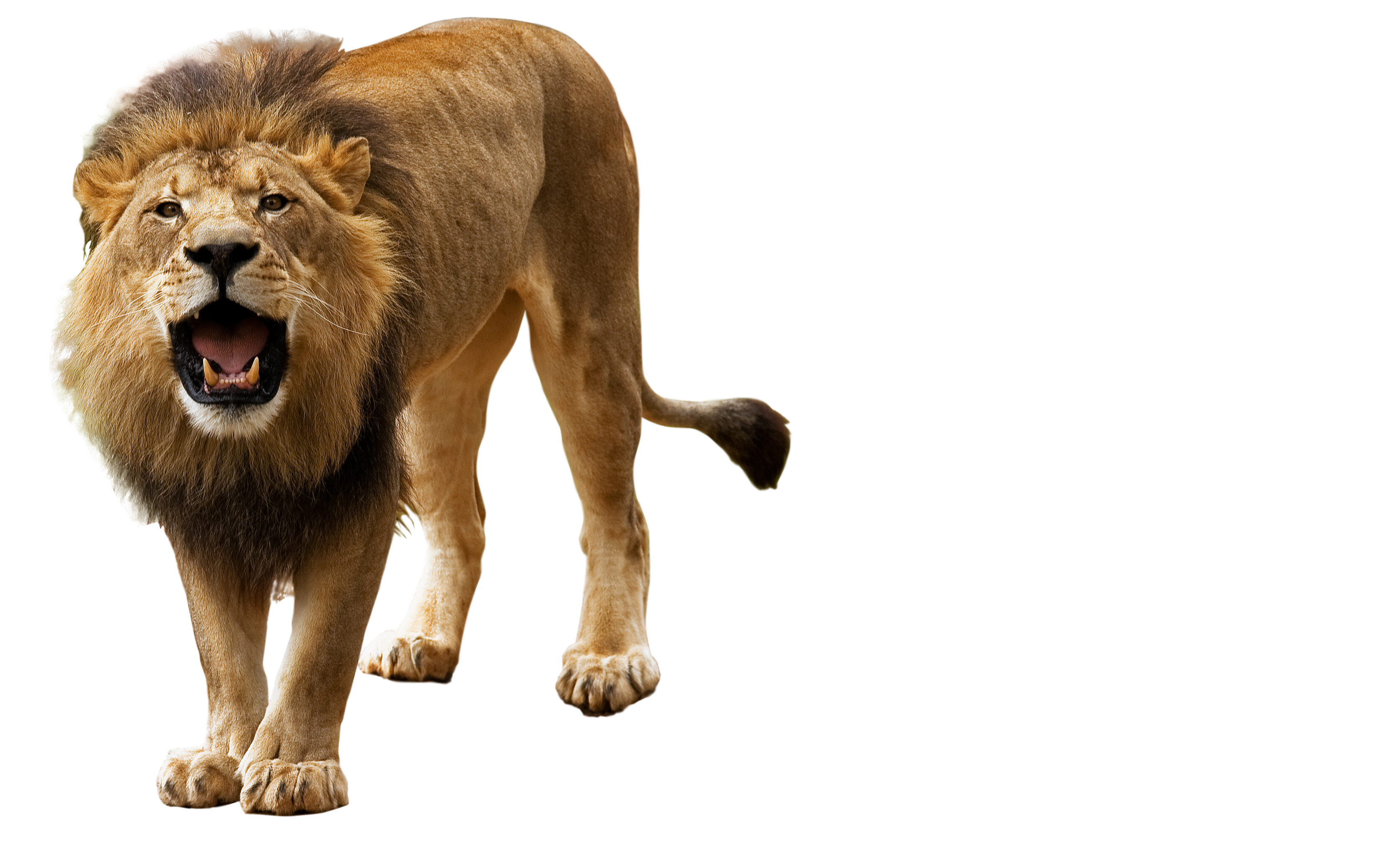 Roar, Angry Lion Png image #42280