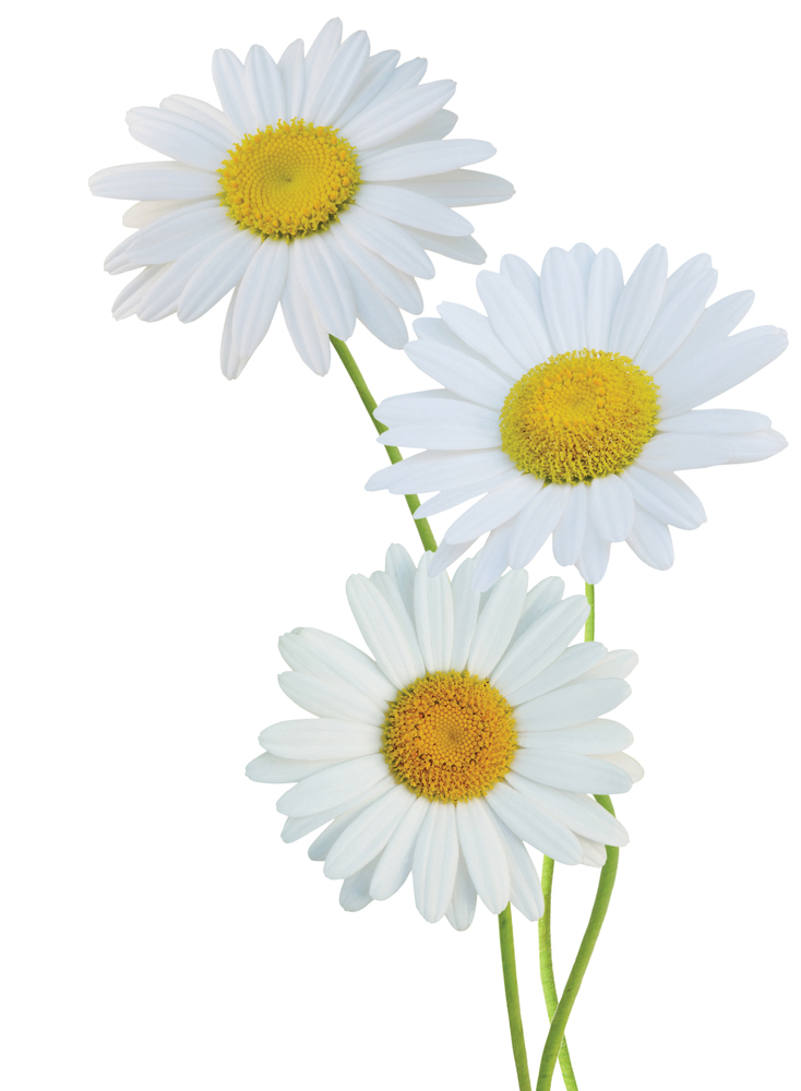 Roman chamomile Flower Psd Oxeye daisy Plants