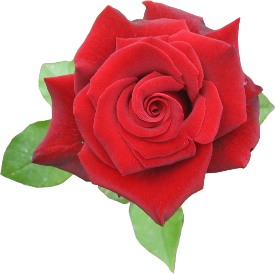 Browse And Download Rose Png Pictures image #18972