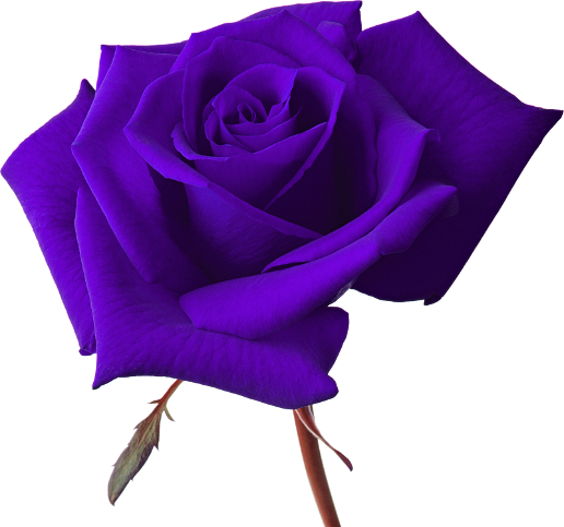 Vector Rose Png