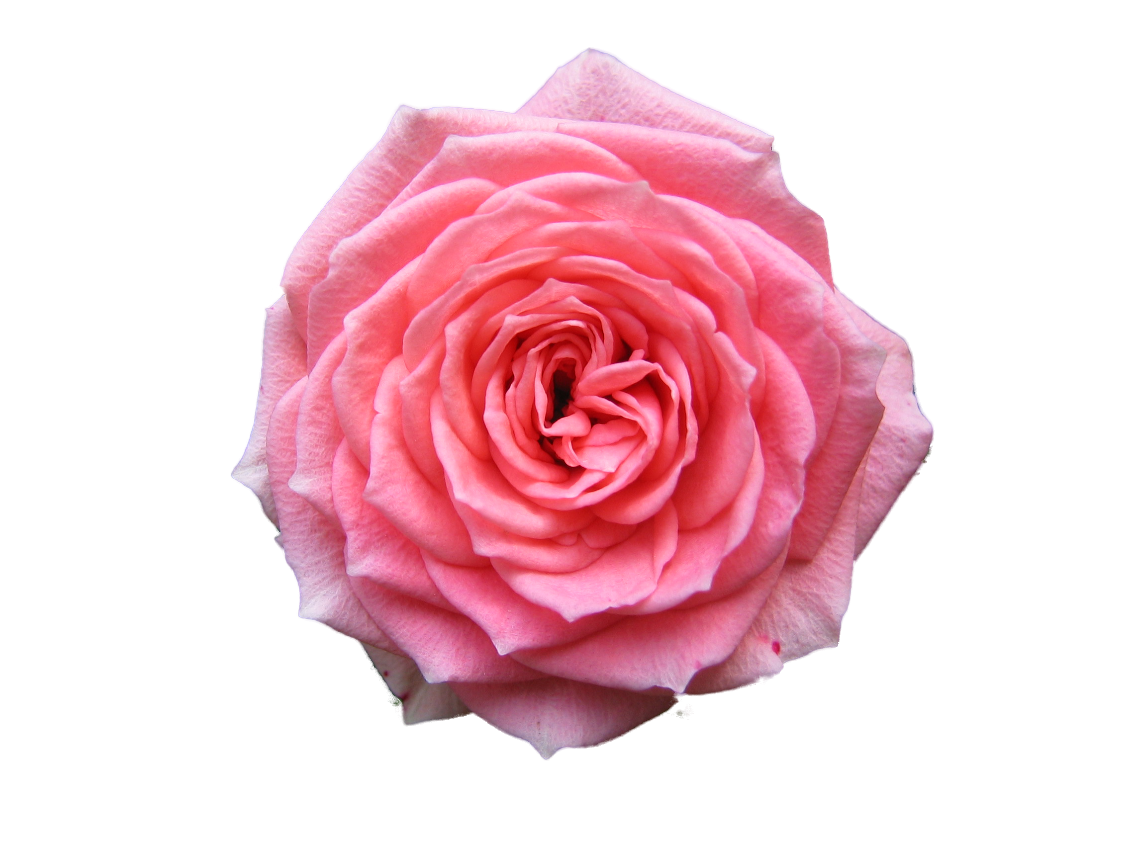 Transparent Background Hd Rose Png image #18987