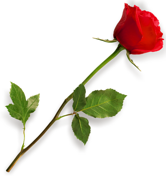 Browse And Download Rose Png Pictures image #18970