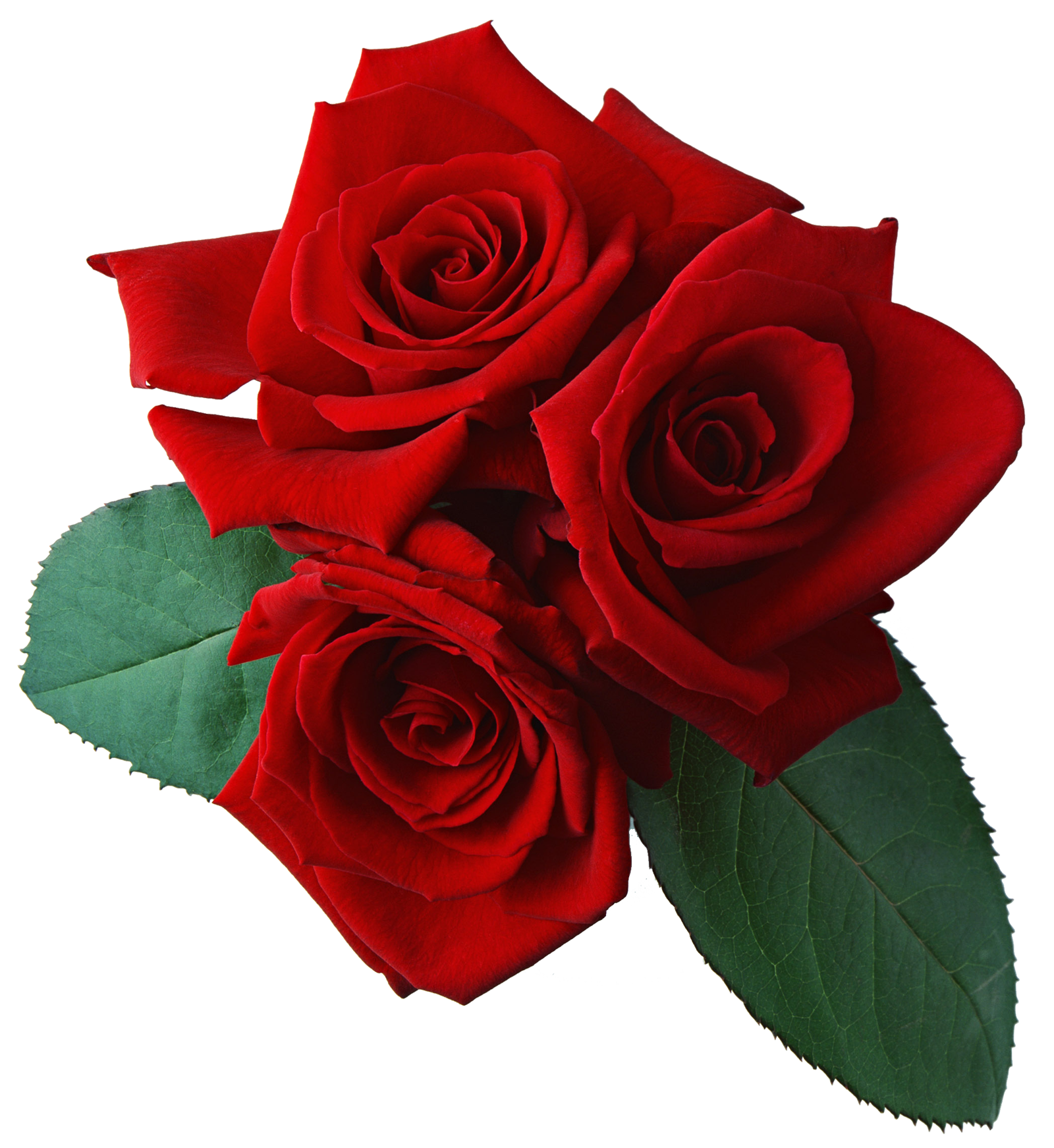 Rose Png Transparent image #39858
