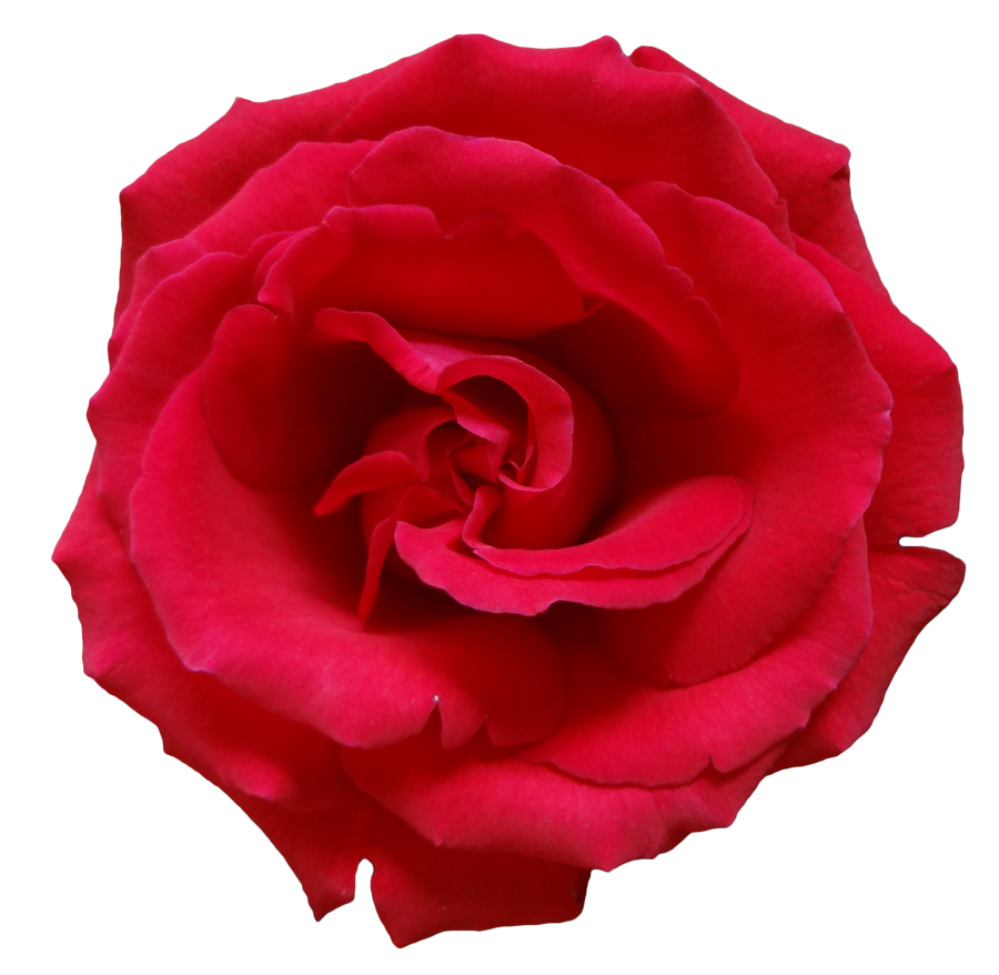 Rose Transparent Png Pictures Free Icons And Png Backgrounds