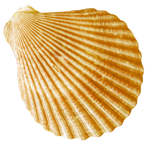 Round Flat Gold Striped Conch Images image #48546