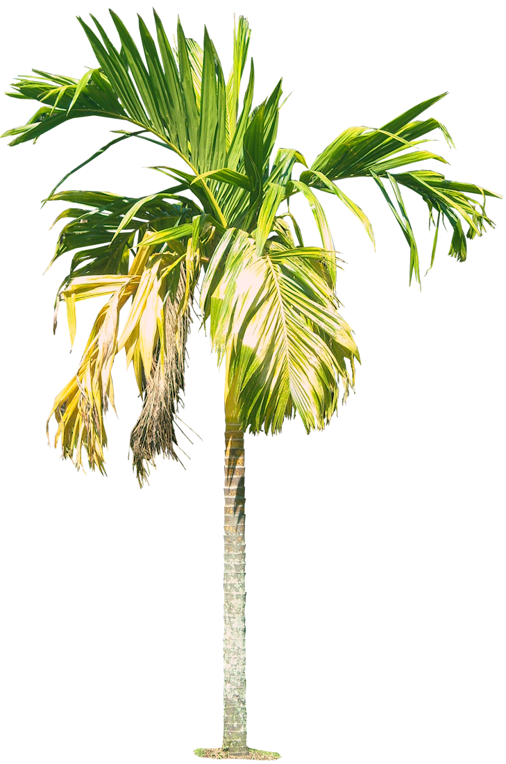Royal Palm Tree Hd Png   image #43061