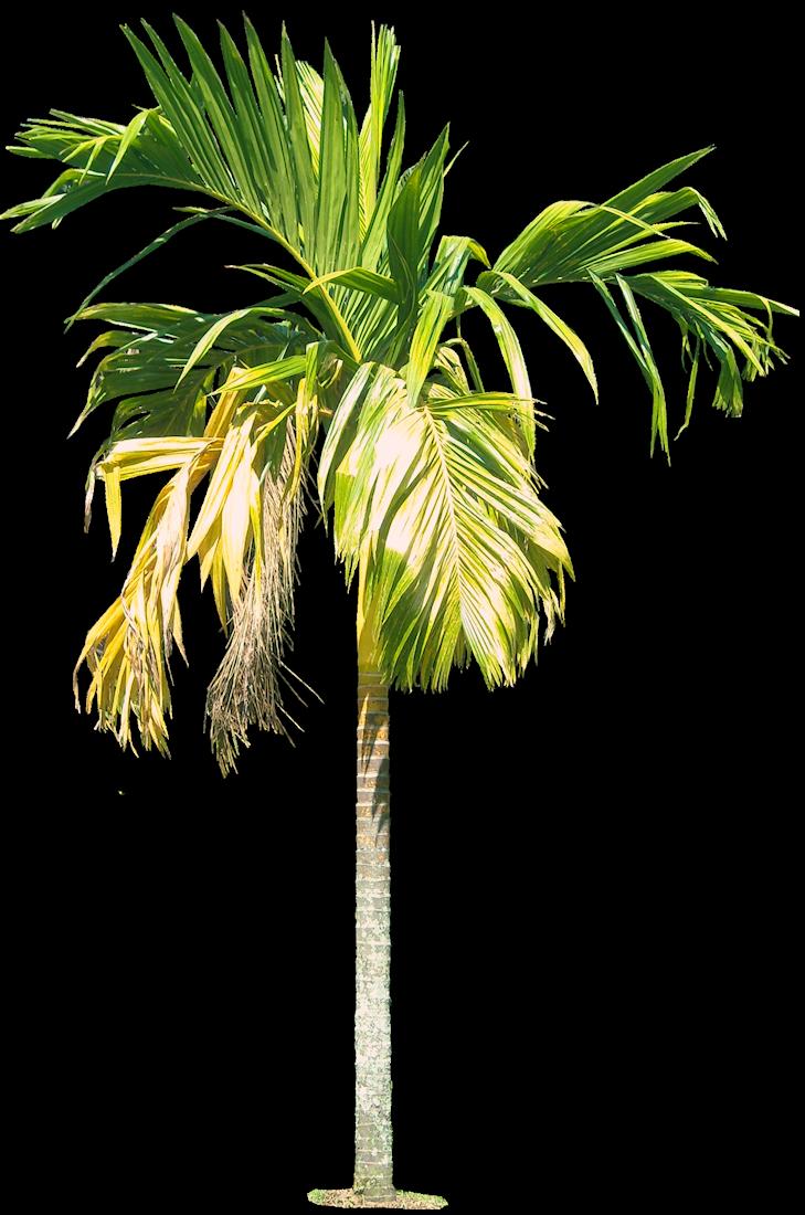 Royal Palm Tree Hd Png
