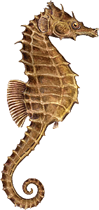 PNG Picture Seahorse image #24555