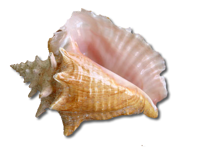 Transparent PNG Seashell Image image #24604