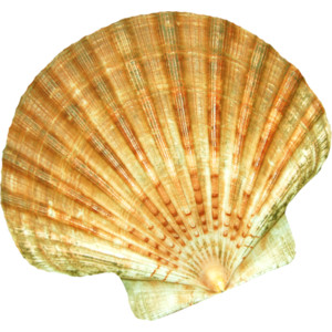 High Resolution Seashell Png Clipart image #24618