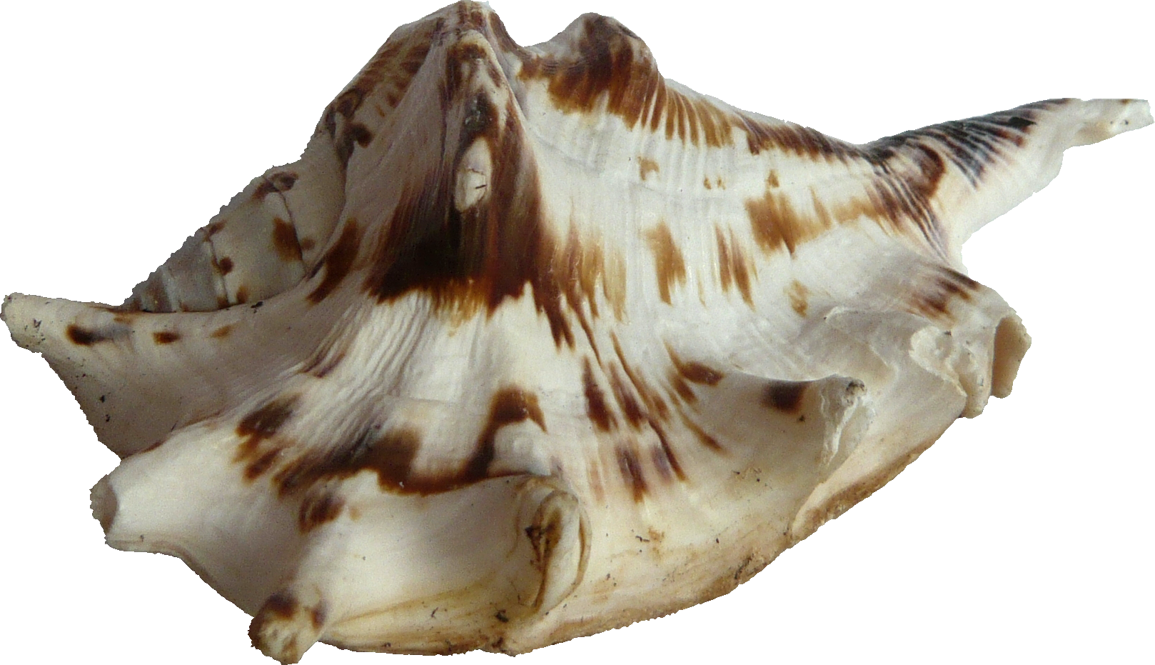 Image Seashell PNG Transparent image #24624