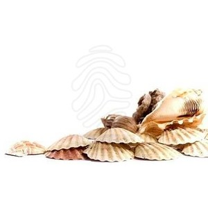 High Resolution Seashell Png Clipart image #24630