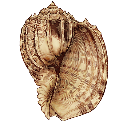 Download For Free Seashell Png In High Resolution