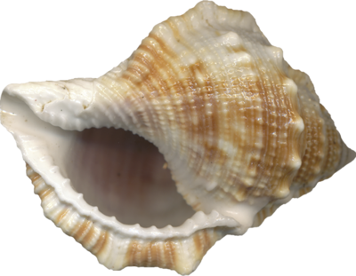 Free Vector Seashell Download Png image #24607