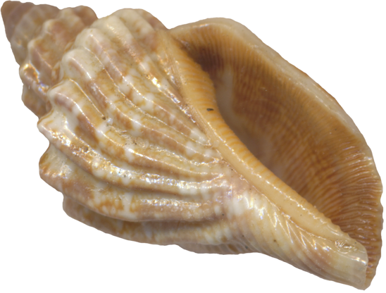 Use These Seashell Vector Clipart image #24611