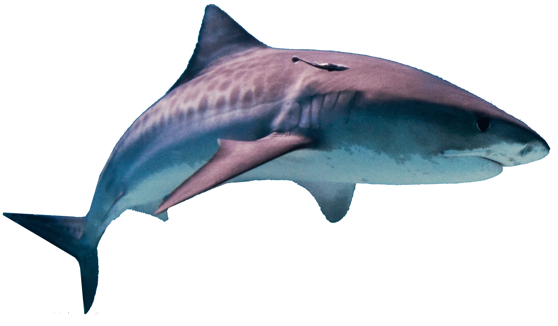 Shark Attack Png Transparent Background Free Download 42728 Freeiconspng Rainbow shark png and rainbow shark transparent clipart free. shark attack png transparent background