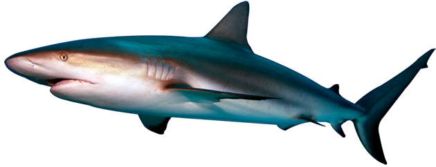 Shark PNG Transparent Photo