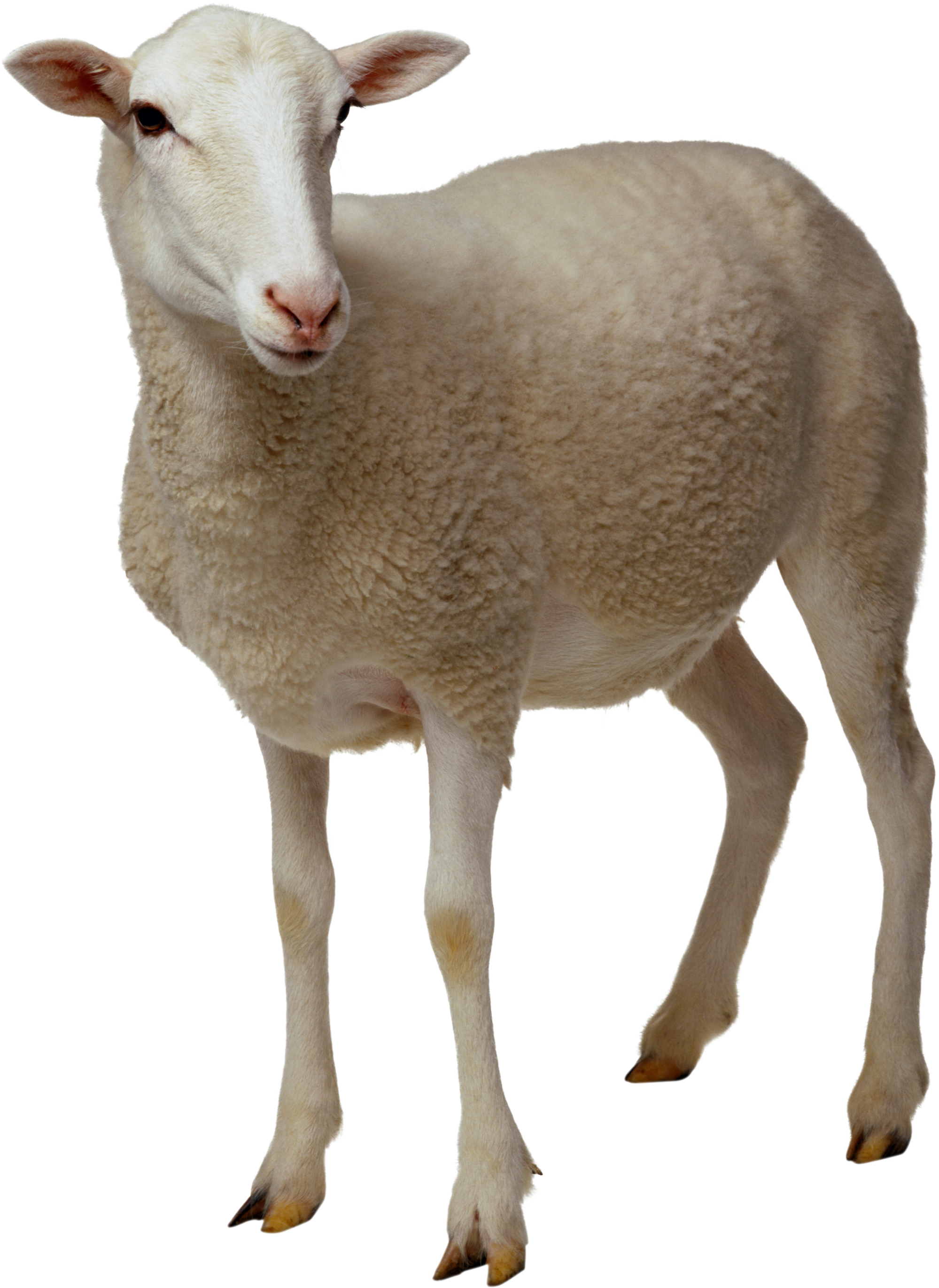 Png Sheep Vector image #23151