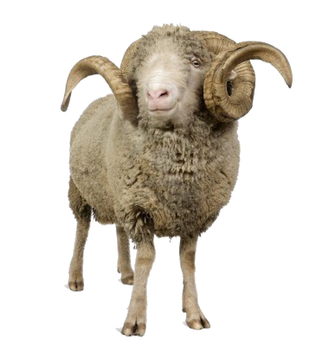Png Background Sheep Transparent image #23162